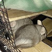 Chinchilla for adoption in Avondale, Louisiana - Oscar & Felix