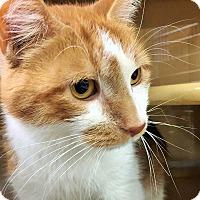 Domestic Shorthair Cat for adoption in Appleton, Wisconsin - Archie *Petsmart GB*