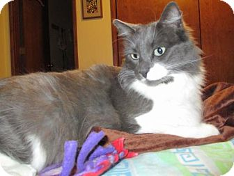 Domestic Mediumhair Cat for adoption in HILLSBORO, Oregon - 'Spinn' Special Needs - wobbler | CH