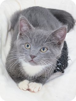 Domestic Shorthair Kitten for adoption in Speonk, New York - Felicity