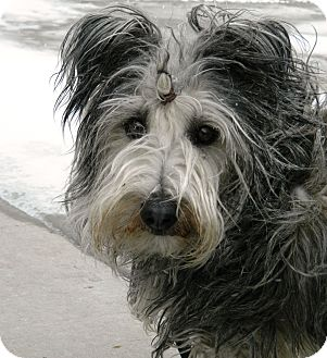 Skye Terrier Mix Dog for adoption in Cheyenne, Wyoming - Stubby