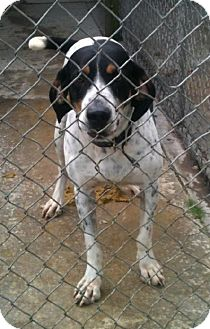 Treeing Walker Coonhound/Bluetick Coonhound Mix Dog for adoption in Schererville, Indiana - Kirk