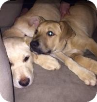 Labrador Retriever/Shepherd (Unknown Type) Mix Puppy for adoption in Marlton, New Jersey - Grant and Buddy