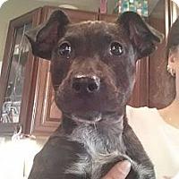 Adopt A Pet :: Noelle - East Rockaway, NY