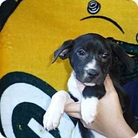 Adopt A Pet :: Ginger - Oviedo, FL
