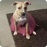 Pit Bull Terrier Mix Puppy for adoption in Plano, Texas - Honey