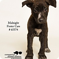Adopt A Pet :: Midnight (Foster) - Baton Rouge, LA