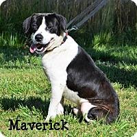 Adopt A Pet :: Maverick - DuQuoin, IL