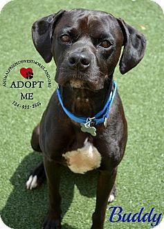 Boxer/Labrador Retriever Mix Dog for adoption in Youngwood, Pennsylvania - Buddy