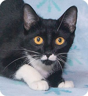 Domestic Shorthair Cat for adoption in Elmwood Park, New Jersey - April