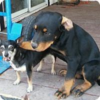 Adopt A Pet :: Kodi - Gilbert, AZ