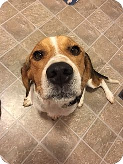 Beagle Mix Dog for adoption in Homewood, Alabama - Topper