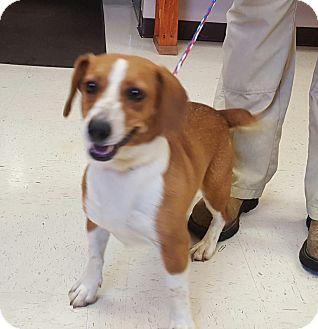 Corgi/Beagle Mix Dog for adoption in Trenton, New Jersey - Rosebud