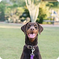 Doberman Pinscher Dog for adoption in Phoenix, Arizona - Rocky