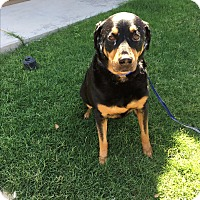 Adopt A Pet :: Bucky - Gilbert, AZ