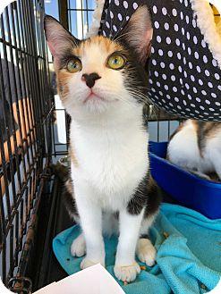 Calico Kitten for adoption in Marina del Rey, California - Olivia