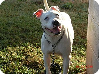 Pit Bull Terrier Mix Dog for adoption in MC KENZIE, Tennessee - China