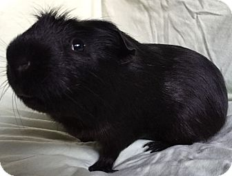 Guinea Pig for adoption in Steger, Illinois - Critter