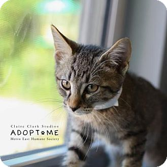 Domestic Shorthair Cat for adoption in Edwardsville, Illinois - Austin