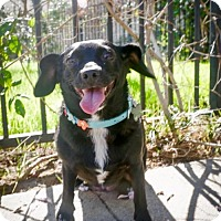 Chihuahua/Dachshund Mix Dog for adoption in Los Angeles, California - Queenie the Chiweenie