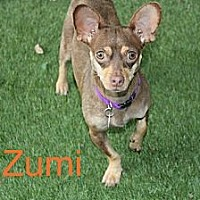 Chihuahua/Dachshund Mix Dog for adoption in Houston, Texas - Zumi