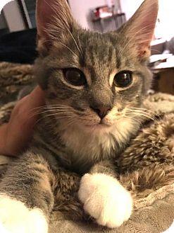 Domestic Mediumhair Kitten for adoption in Washington, D.C. - Alberto