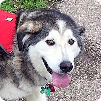Alaskan Malamute Mix Dog for adoption in Boise, Idaho - LEXIE