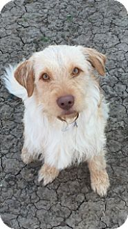 wheaten terrier rescue texas mckinney tx wheaten terrier mix meet buddy a dog for 6254