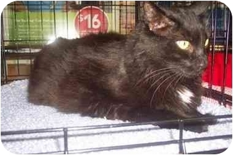 Domestic Shorthair Cat for adoption in Easley, South Carolina - Midnight