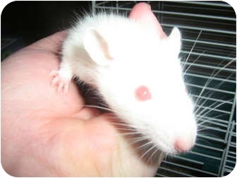 Rat for adoption in Cincinnati, Ohio - Snowie