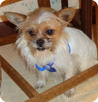Chihuahua/Shih Tzu Mix Dog for adoption in Richmond, Virginia - Timone
