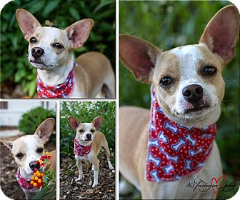 Chihuahua Mix Dog for adoption in Bartow, Florida - Spock