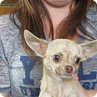 Adopt A Pet :: Little Pedro 3.8pounds - Greenville, RI