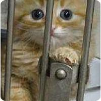 Adopt A Pet :: 2 Male Kittens - Shelby, MI