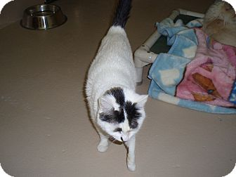 Domestic Shorthair Cat for adoption in Quilcene, Washington - Blanche