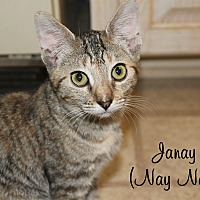 Domestic Shorthair Kitten for adoption in Wichita Falls, Texas - Janay