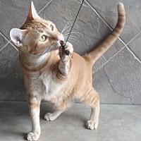 Domestic Shorthair Cat for adoption in Seguin, Texas - Homer