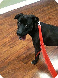 Boxer/Labrador Retriever Mix Dog for adoption in Louisville, Kentucky - TUX
