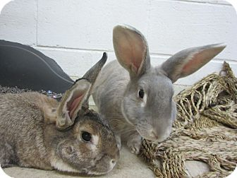 American Fuzzy Lop Mix for adoption in Newport, Delaware - Cadburry & Chewie