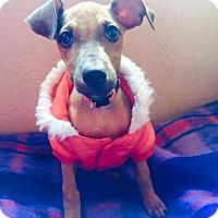 Adopt A Pet :: Petunia - Pittsburgh, PA
