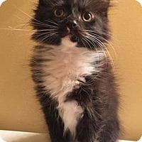 Adopt A Pet :: Elsie - Merrifield, VA