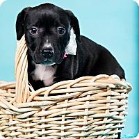Adopt A Pet :: Flopsy - Houston, TX