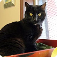 Adopt A Pet :: Midnight - Bellevue, WA