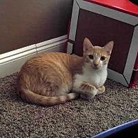 Domestic Shorthair Cat for adoption in Chandler, Arizona - Tony