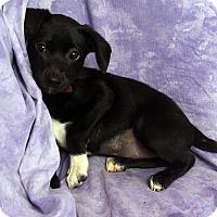 Adopt A Pet :: Kathy BeagleMinPin - St. Louis, MO