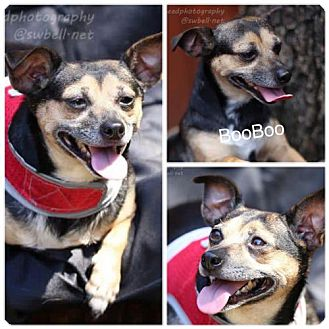 Chihuahua Mix Dog for adoption in Fort Worth, Texas - BooBoo