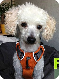 Poodle (Miniature) Mix Dog for adoption in Concord, California - Fern