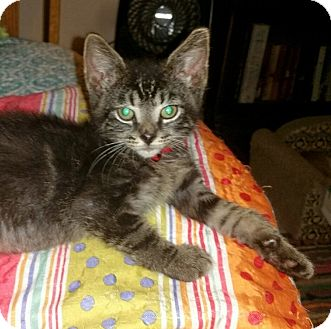 Domestic Shorthair Kitten for adoption in Winterville, North Carolina - ZACHEUS
