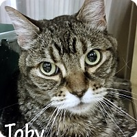 Domestic Shorthair Cat for adoption in Las Vegas, Nevada - Toby