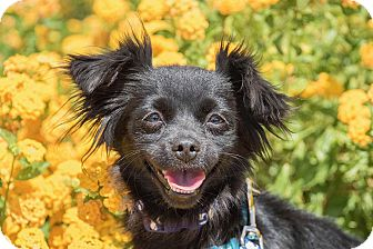 Chihuahua Mix Dog for adoption in North Las Vegas, Nevada - Betsy